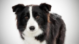 border collie rescue Archives - Paws Applause